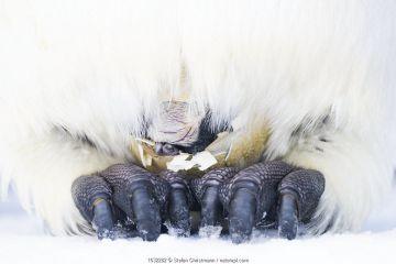 Emperor penguin (Aptenodytes forsteri) egg hatching on father's feet.