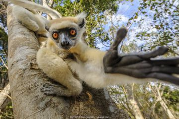 Golden-crowned or Tattersall's sifaka (Propithecus tattersalli), forests near the village of Andranotsimaty, near Daraina, northern Madagascar.