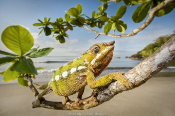 Male Panther Chameleon (Furcifer pardalis) stalking prey in beach side vegetation. Bay of Antongil, Masoala Peninsula National Park, north east Madagascar.