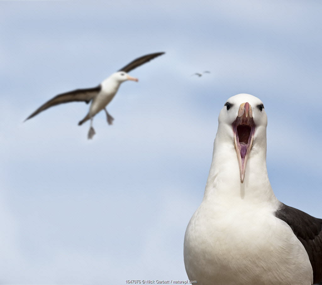 Black-browed albatross (Thalassarche melanophrys) calling and in flight. Bay of Isles, South Atlantic. January.