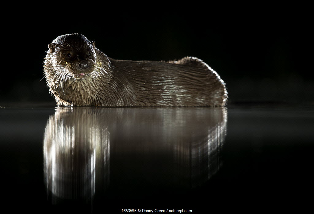 European river otter (Lutra lutra) reflected in water at night. Lincolnshire, England, UK. July.