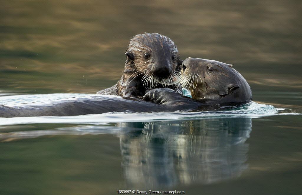 Sea otter (Enhydra lutris) female and pup. Alaska, USA, February.