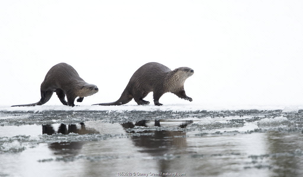 North American river otter (Lontra canadensis) female and cub walking across snow, reflected in water. Yellowstone National Park, USA, January.
