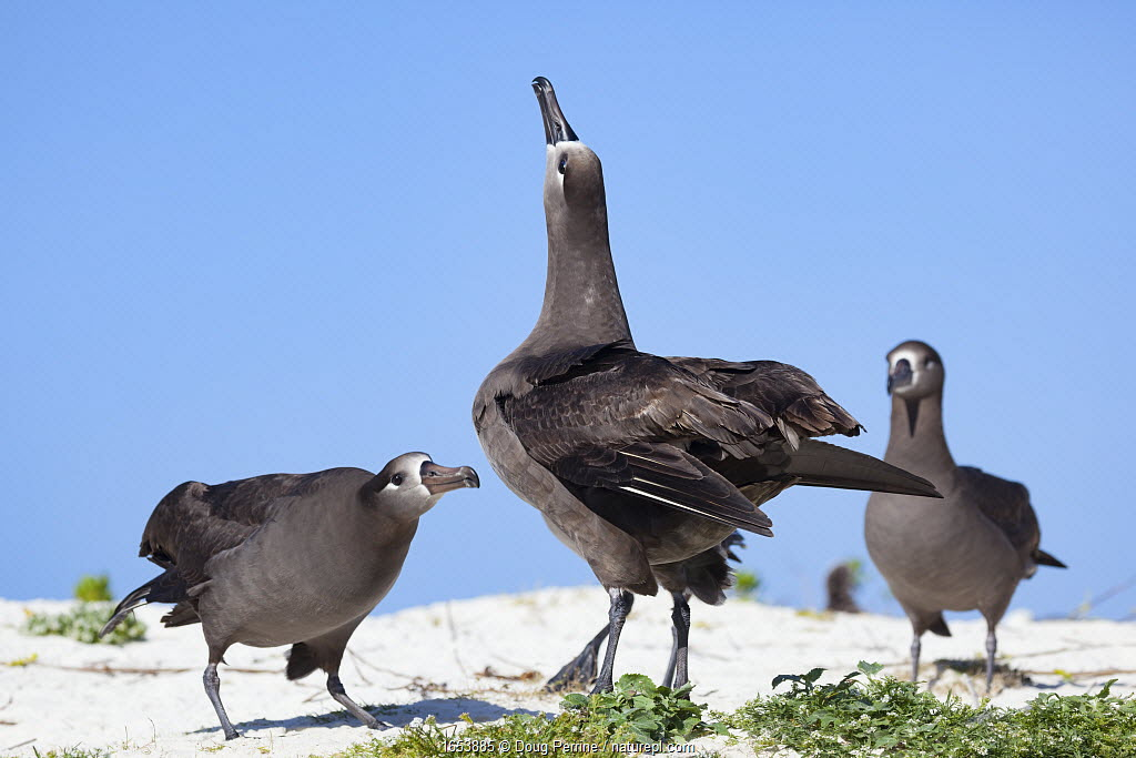 Black-footed albatross (Phoebastria nigripes) pair in courtship dance, one sky pointing with another albatross observing in background. Sand Island, Midway Atoll National Wildlife Refuge, Papahanaumokuakea Marine National Monument, Northwest Hawaiian Islands, USA.