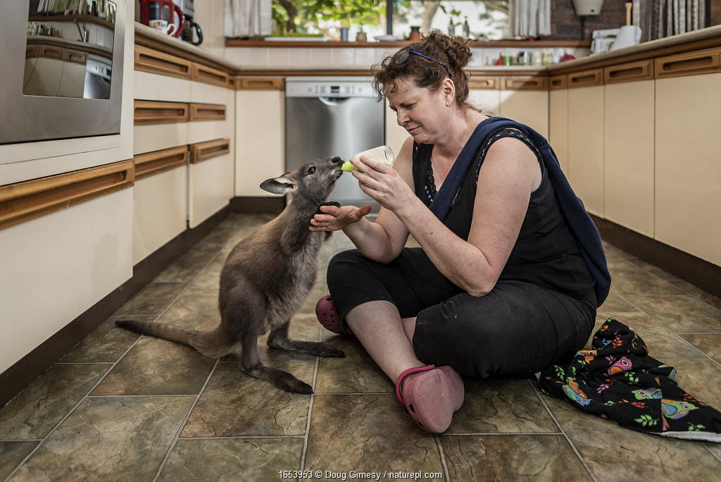Wallaroo (Macropus robustus), orphaned male joey aged 4-5 months bottle fed by wildlife rescuer and carer in kitchen. Joey was thrown out of pouch in road traffic accident, mum fatally injured. Somersby, New South Wales, Australia. November 2019.
