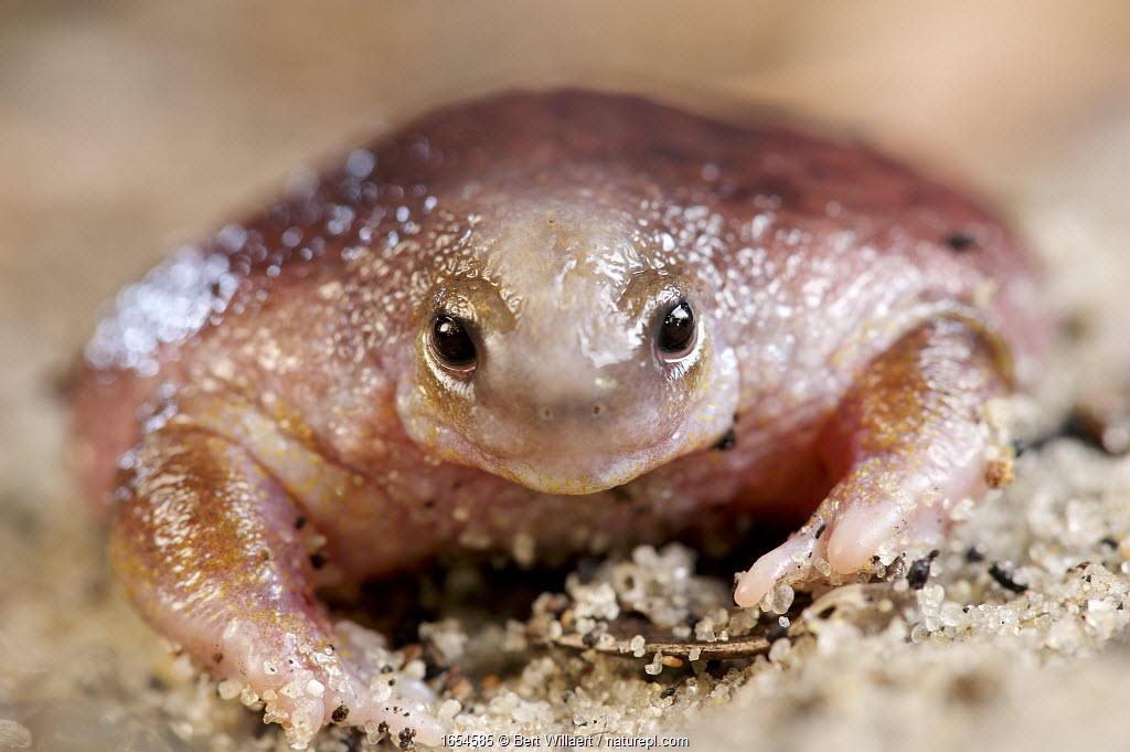 Turtle frog (Myobatrachus gouldii) portrait. Perth, Western Australia. October.
