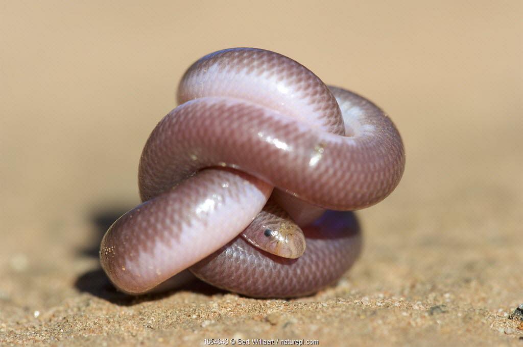 Southern blind snake (Anilios australis) coiled into ball on sand. Stirling Range National Park, Western Australia. November.