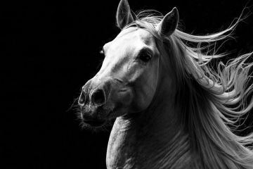 Andalusian horse stallion running with mane flowing, portrait. Germany.
