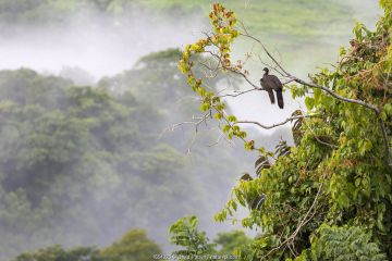 Crested guan (Penelope purpurascens) with young in a tree Carara National Park, Tarcoles, Costa Rica