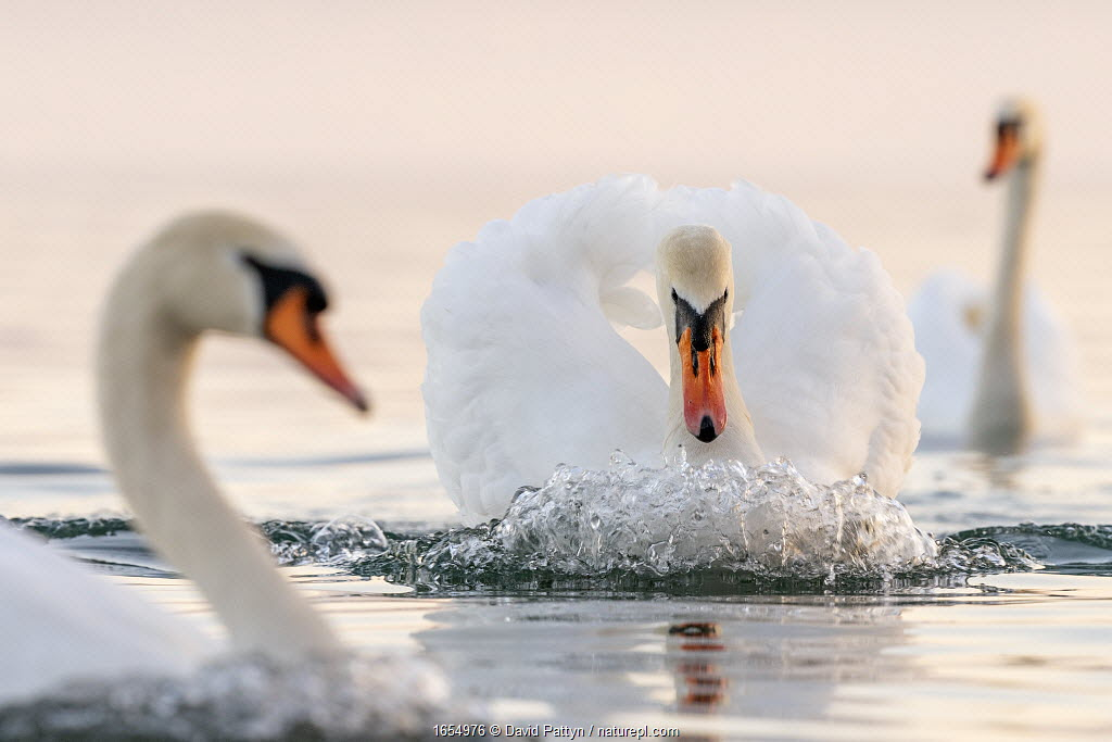 Mute swan (Cygnus olor) in a threathening territorial pose and attacking a rival, Lake Geneva, near Geneva, Switzerland, March