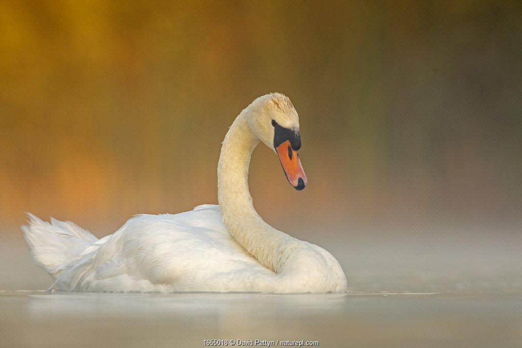 Mute swan (Cygnus olor) adult on a misty morning. Valkenhorst Nature Reserve, Valkenswaard, The Netherlands, August
