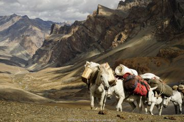 Caravan of horses climbing over the Singge La mountain pass at an altitude of 5010m. View of valley and Zanskar Mountains in background. Ladakh, India. September 2011.