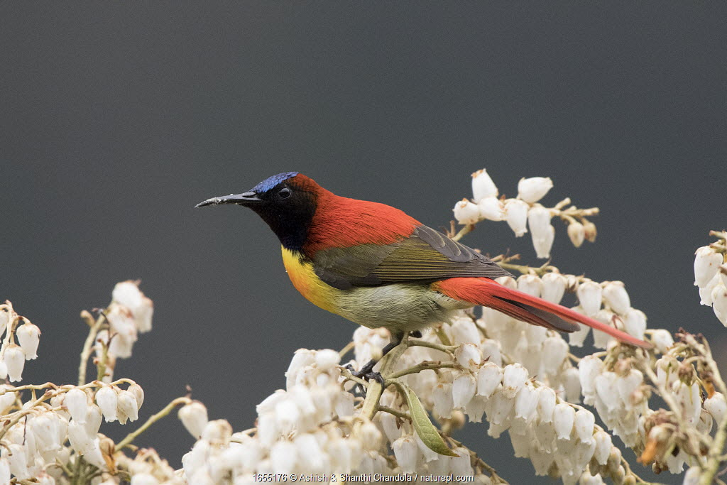 Fire-tailed sunbird (Aethopyga ignicauda) perched amongst blossom. North Sikkim, India. April.