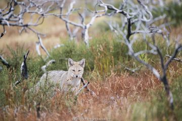 Patagonian grey fox (Lycalopex griseus) Los Glacias National Park, Argentina.
