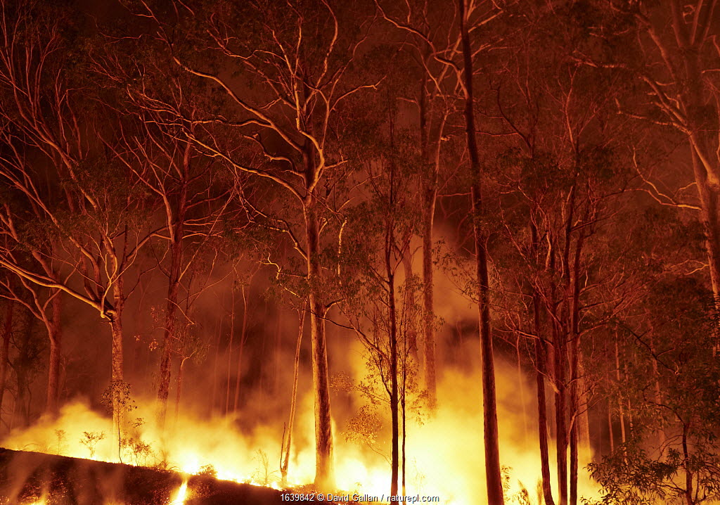 Bushfire in spotted gum (Corymbia maculata) forest on the far south coast of New South Wales, Australia. January 2020.