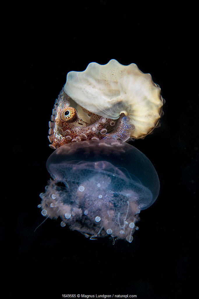 Brown paper nautilus (Argonauta hians) female riding on a jellyfish, off Anilao, Balayan Bay, Batangas, Philippines. Minimum fees apply.