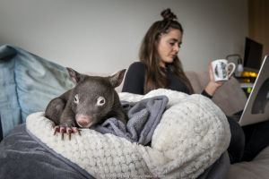 Emily Small, founder of Goongerah Wombat Orphanage, wildlife rescuer and carer, working in her Melbourne inner-city apartment, with an orphaned and rescued baby bare-nosed wombat (Vombatus ursinus) named Bronson (7 months old), in a home-made pouch. Temporarily captive, until old enough to be released. Preston, Victoria, Australia, May 2020. Model released. Editorial use only.