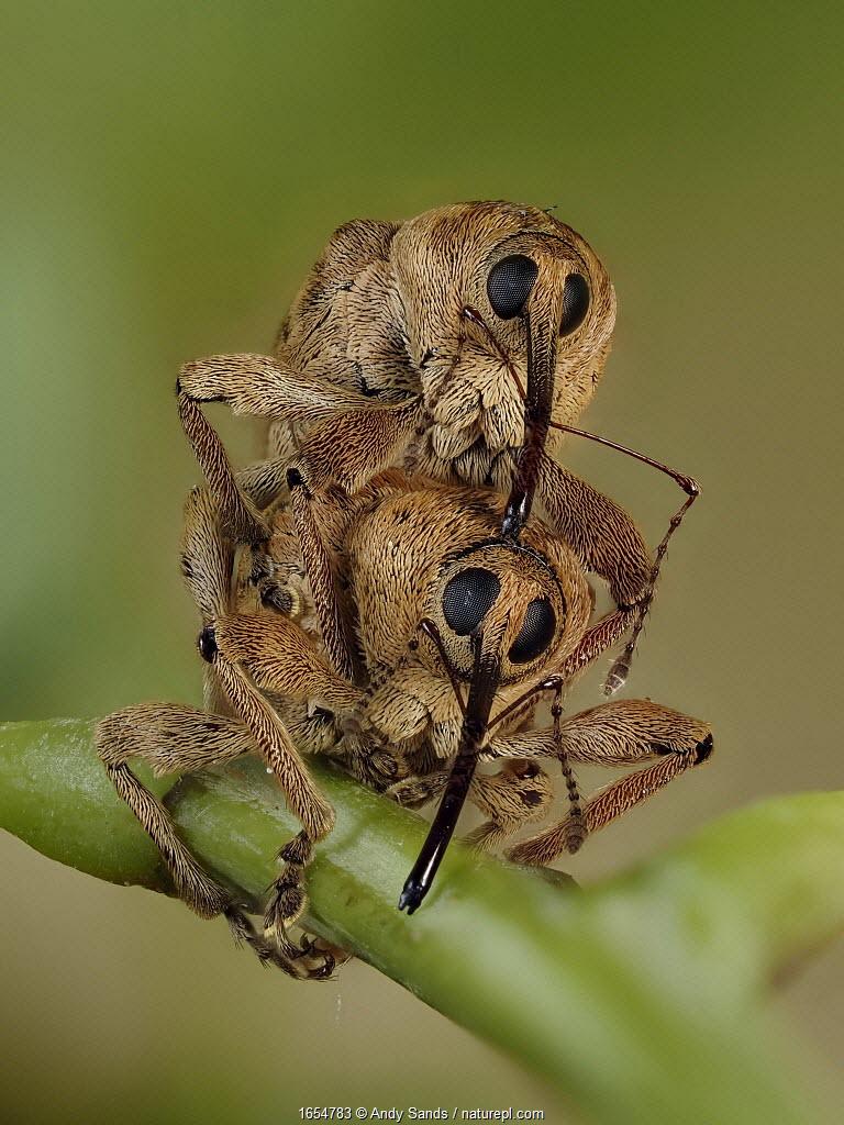 Acorn weevil (Curculio venosus) mating pair head on view on Oak twig, Hertfordshire, England, UK, June - Focus Stacked - Captive