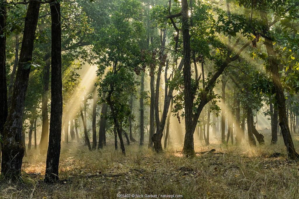 Early morning shafts of sunlight through Sal (Shorea robusta) forest. Bandhavgarh National Park, Madhya Pradesh, Central India.