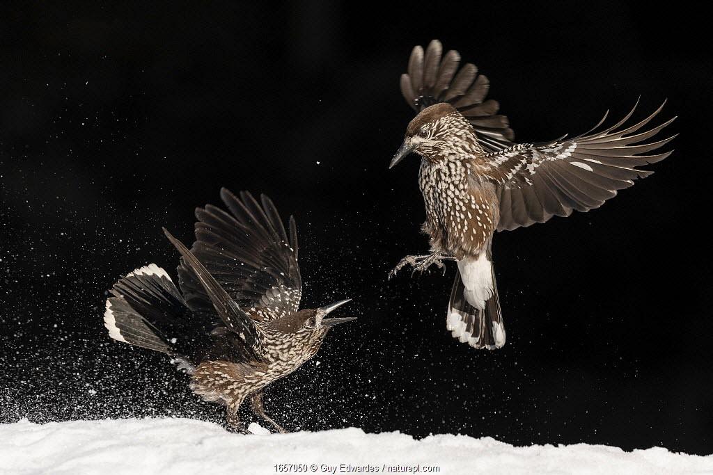 Nutcracker (Nucifraga caryocatactes), two fighting in snow. Vitosha Mountain, Sofia, Bulgaria. January.