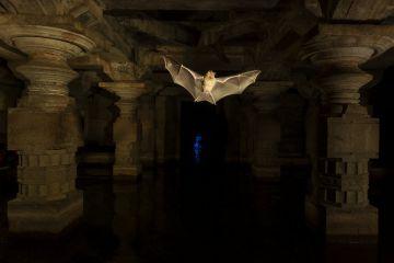 Schneider's leaf-nosed bats (Hipposideros sperosis) in half submerged old temple ruins. Hampi World UNESCO Heritage Site, Karnataka, India