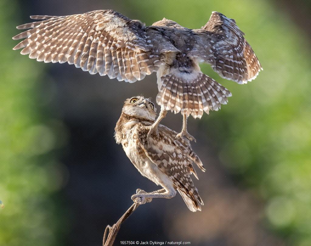 Burrowing owls (Athene cunicularia) juvenile owls playing, age seven weeks, Sonoran Desert, Arizona, USA. June.