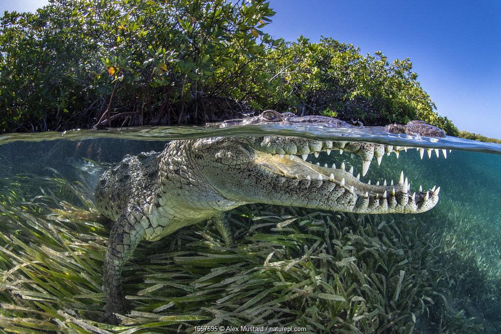 Split level photo of an American crocodile (Crocodylus acutus) beneath red mangrove trees (Rhizophora mangle) above a bed of seagrass (turtlegrass: Thalassia testudinum). Jardines de la Reina, Gardens of the Queen National Park, Cuba. Caribbean Sea.