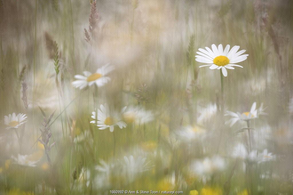 Oxeye daisies (Leucanthemum vulgare) in upland hay meadow, Northumberland National Park, UK, June.
