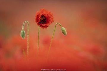 Poppy (Papaver rhoeas), Dorchester, Dorset, England, UK.