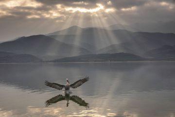 Dalmatian Pelican (Pelecanus crispus) landing on Lake Kerkini, Greece