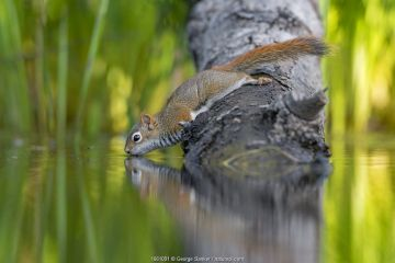 American Red squirrel (Tamiasciurus hudsonicus) on tree trunk drinking in a beaver pond. Acadia National Park, Maine, USA.