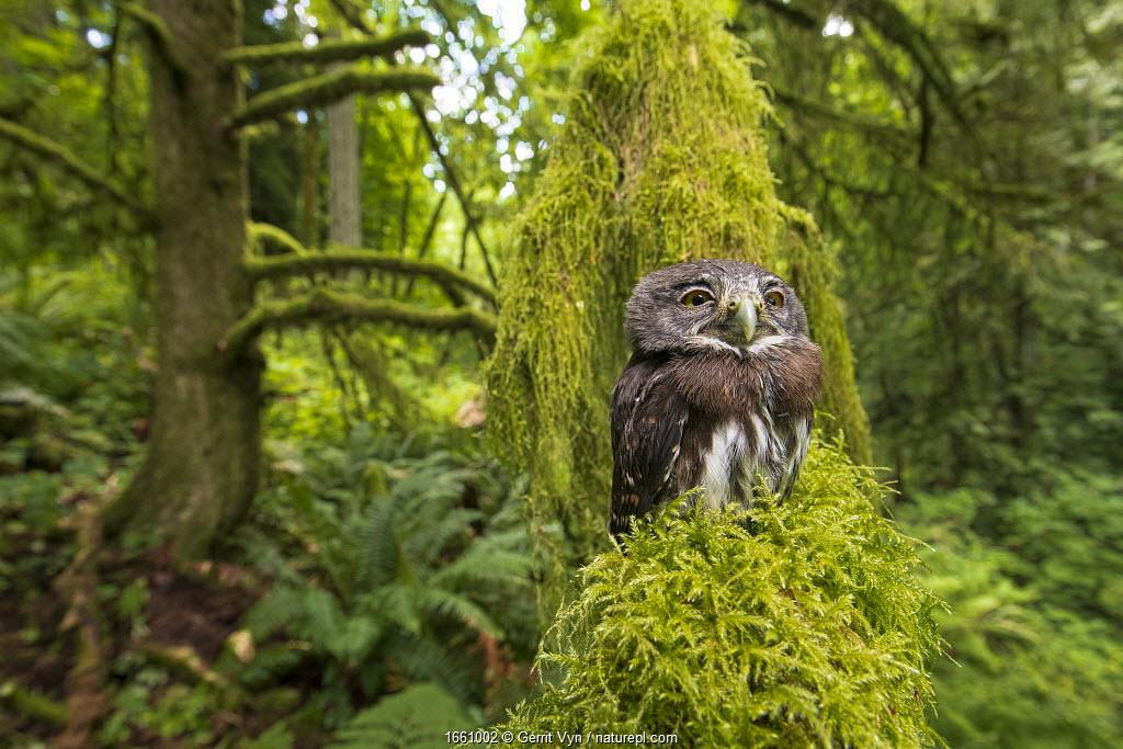 Northern Pygmy owl (Glaucidium californicum) fledgling, Oregon, USA . June.