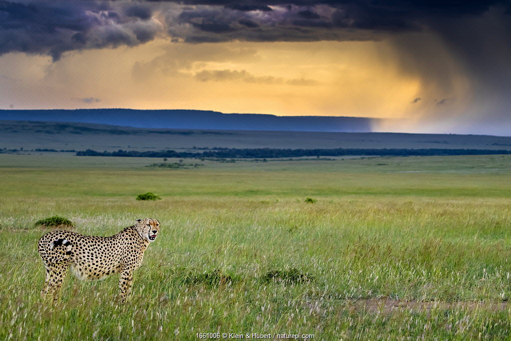 Cheetah (Acinonyx jubatus) in savanna under a stormy sky. Kenya, Africa.