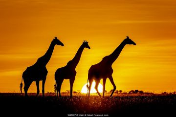 Three Masai giraffe (Giraffa camelopardalis tippelskirchi) silhouetted at sunset. Kenya, Africa.
