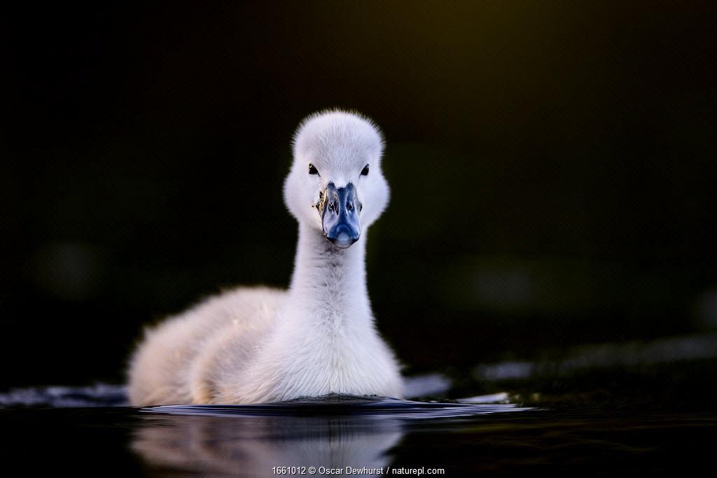 Mute swan (Cygnus olor) cygnet swimming. Richmond Park, London, UK. May