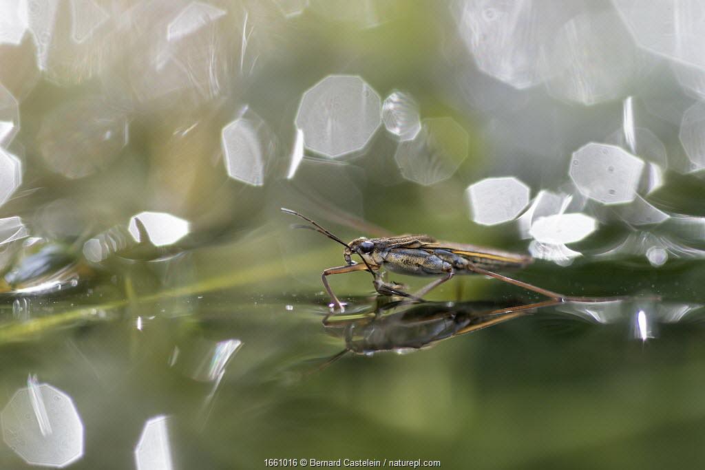 Pond skater (Gerris sp) reflected in water. Brasschaat, Belgium. June.