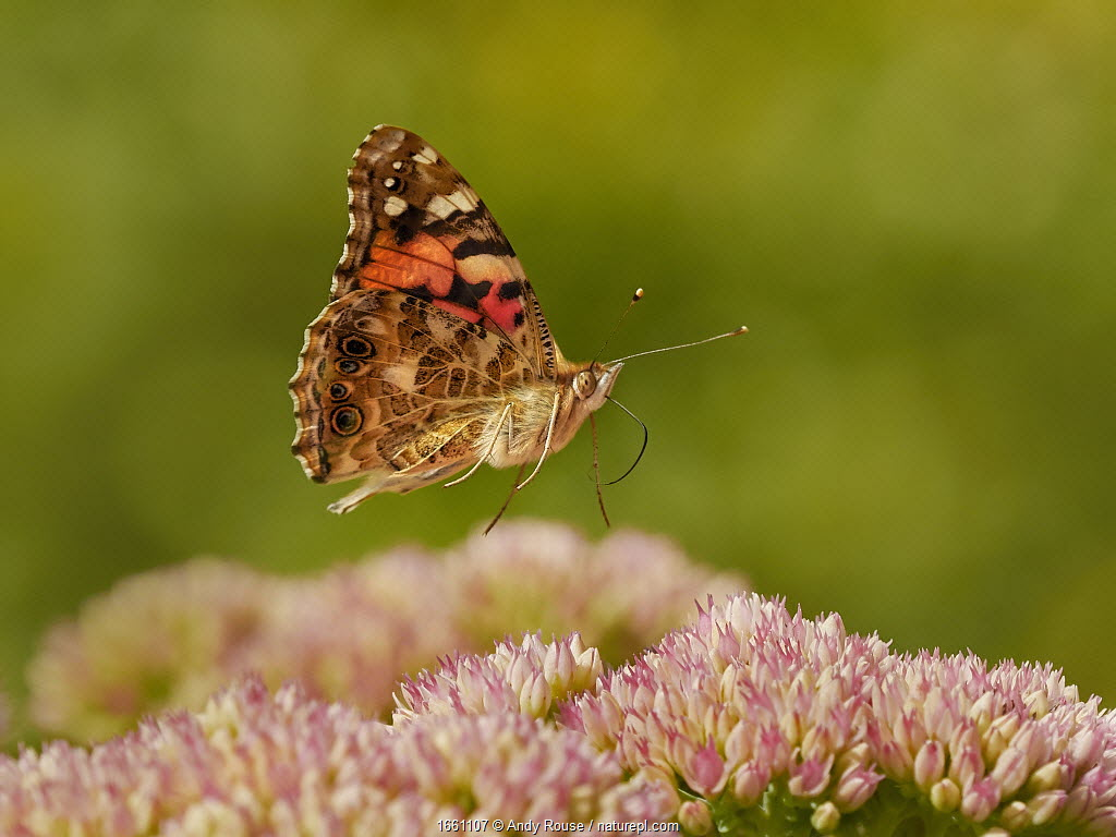 Painted lady butterfly (Vanessa cardui) flying over sedum (Hylotelephium) in a garden. Wales, UK. Summer.