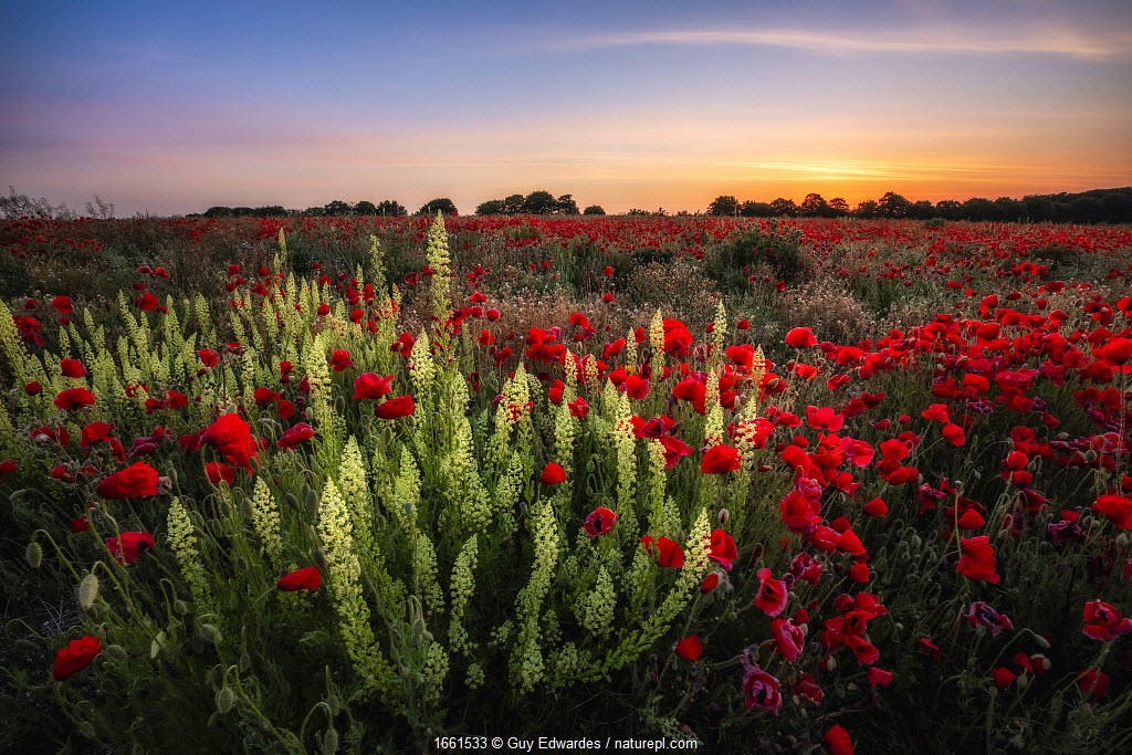 Poppies (Papaver rhoeas) and Wild mignonette (Reseda lutea) in bloom on arable land near Wimborne, Dorset, England, UK, May.