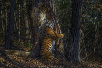Siberian tiger (Panthera tigris altaica) female territorial marking by rubbing cheek against ancient Manchurian fir tree, Land of the Leopard National Park, Far East Russia, November. Taken with remote camera. Endangered species.