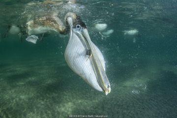 Brown pelican (Pelecanus occidentalis) feeding underwater, Eastern Pacific Ocean, Bahia Magdalena, Baja California, Mexico.