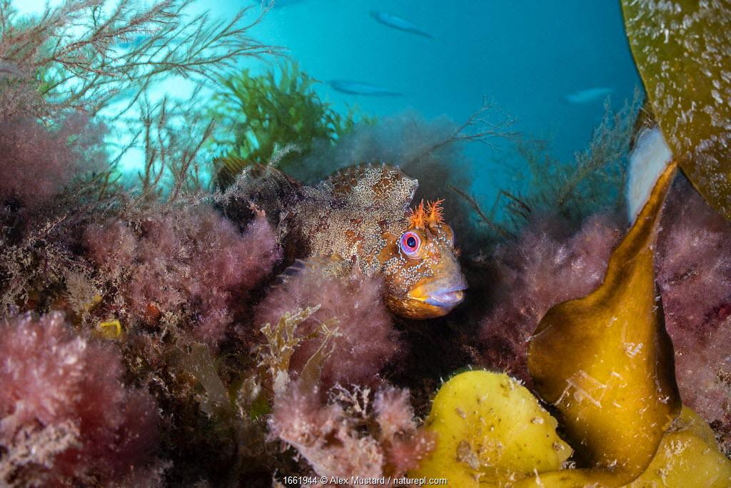 Tompot blenny (Parablennius gattorugine) in colourful sea weeds, with fish behind. Swanage, Dorset, England, United Kingdom. British Isles.