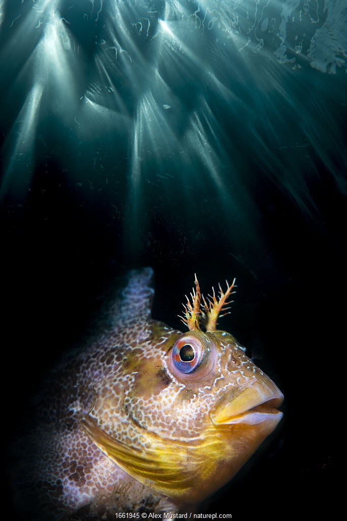 Double exposure of a Tompot blenny (Parablennius gattorugine) with underwater sun beams. Swanage, Dorset, England, United Kingdom.