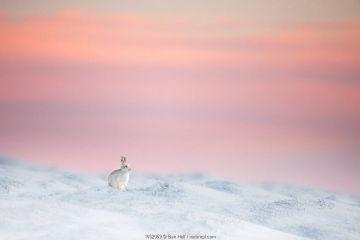 Mountain hare (Lepus timidus) on snow covered moorland at last light, Derbyshire, UK.
