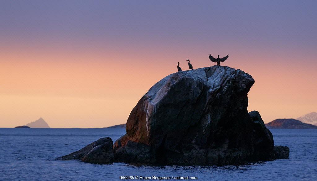 A group of European shags (Phalacrocorax aristotelis) resting on a rock. Coast of Troms, Northern Norway.