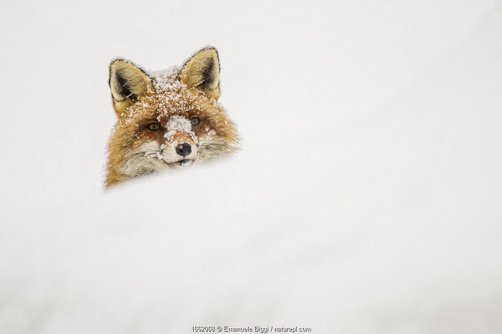 European red fox (Vulpes vulpes) peeking out of a snow bank. Gran Paradiso National Park, Italy.