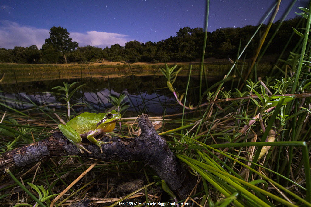 Stripeless tree frog (Hyla meridionalis), male calling by a pond at night, Languedoc Roussillon, France.