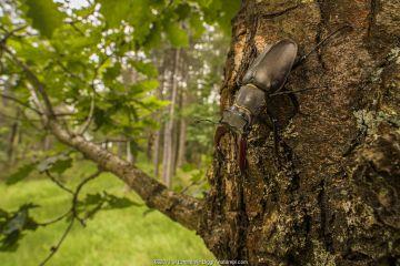Stag beetle (Lucanus cervus), adult male on oak tree, Italy.