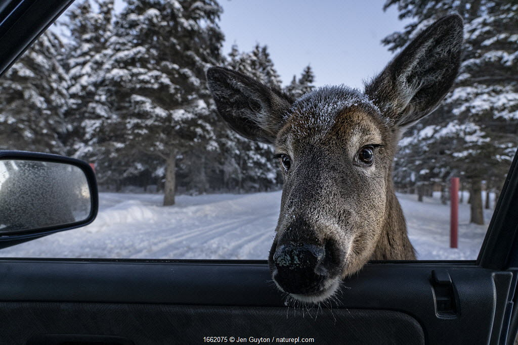 A white-tailed deer (Odocoileus virginianus), habituated after being fed by locals and tourists, sticks its head into the photographer's car in New Brunswick, Canada.