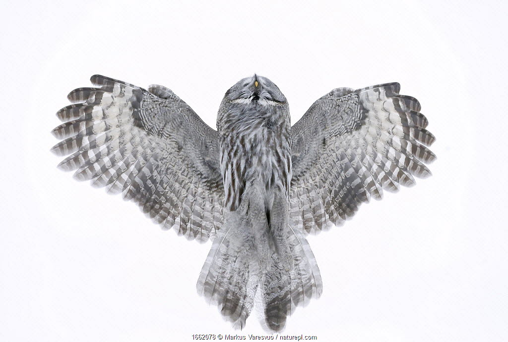 Great Grey Owl (Strix nebulosa) flying directly overhead, Kuhmo Finland February.