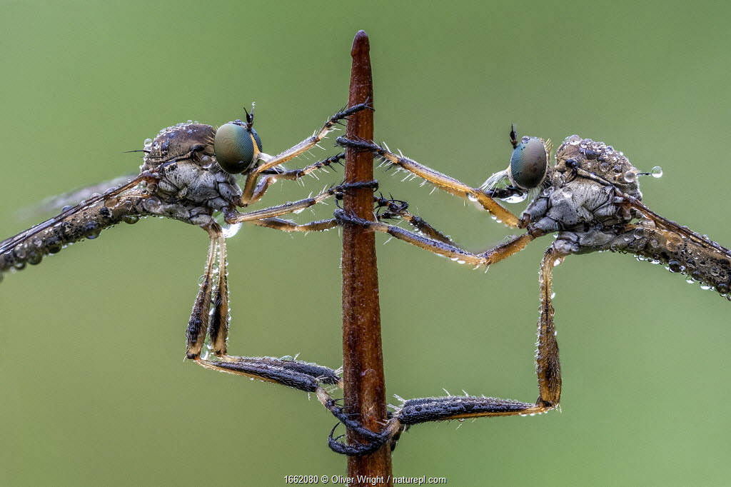 Striped Slender Robberflies (Leptogaster cylindrica) Ledston, Yorkshire, June. Focus stacked image.